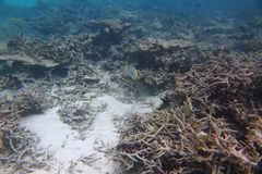 Vista magnífica del mundo subacuático snorkeling Maldivas, el Océano Índico Corales muertos del filón y pescados hermosos en agua Imagen de archivo