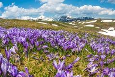 Vista majestosa de açafrões de florescência da mola nas montanhas Imagens de Stock