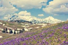 Vista majestosa de açafrões de florescência da mola nas montanhas Fotos de Stock Royalty Free