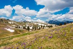 Vista majestosa de açafrões de florescência da mola nas montanhas Fotografia de Stock Royalty Free