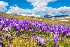 Vista majestosa de açafrões de florescência da mola nas montanhas Foto de Stock