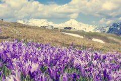 Vista majestosa de açafrões de florescência da mola nas montanhas Imagens de Stock Royalty Free