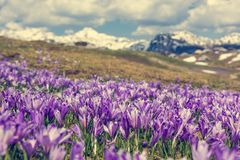 Vista majestosa de açafrões de florescência da mola nas montanhas Fotos de Stock
