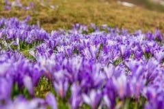 Vista majestosa de açafrões de florescência da mola nas montanhas Imagem de Stock Royalty Free