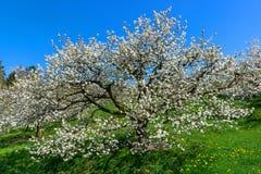 Vista na copa de árvore de uma árvore de cereja de florescência fotos de stock royalty free