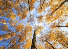 Vista natural bonita de baixo nos troncos e das partes superiores do vidoeiro tr foto de stock