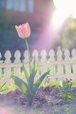 Vista natural de la floración de la flor del tulipán en jardín con la hierba verde como fondo de la naturaleza foto de archivo