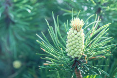 Vista natural del cono verde del pino que crece en el bosque bajo luz del sol natural en el verano o el día de primavera soleado Imagenes de archivo