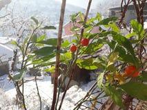 Vista nevado com as bagas vermelhas de meu jardim orgânico imagens de stock