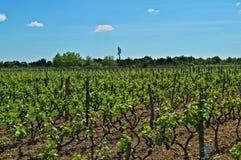 Vista no vinhedo em Dalmácia no sol da mola imagem de stock