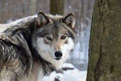 Vista nos olhos de um lobo de madeira imagens de stock royalty free
