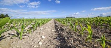 Vista panorámica de la estación temprana del campo de maíz Fotos de archivo libres de regalías
