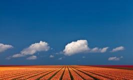 Vista panorámica de un campo colorido con los tulipanes Foto de archivo