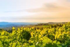 Vista panorámica de un viñedo en el campo toscano Imagen de archivo libre de regalías