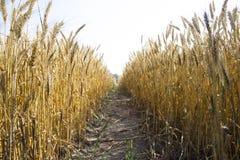 Vista panorámica del campo de trigo de oro por verano Imágenes de archivo libres de regalías