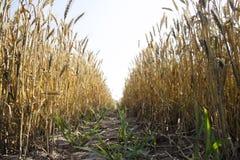 Vista panorámica del campo de trigo de oro por verano Fotografía de archivo libre de regalías