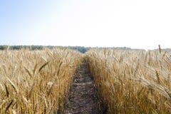 Vista panorámica del campo de trigo de oro por verano Foto de archivo