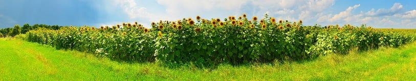Vista panorámica del campo del girasol en tiempo soleado fotografía de archivo libre de regalías