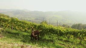 Vista panorámica hermosa del valle italiano con el viñedo Brown que el pequeño caballo pasta en un prado, pequeño caballo come metrajes