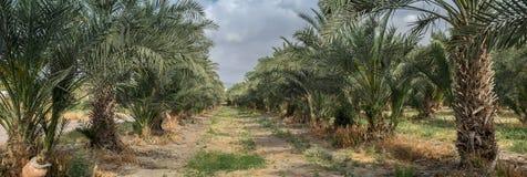 Vista panorámica muy grande de la arboleda de las palmeras en Israel septentrional Foto de archivo libre de regalías