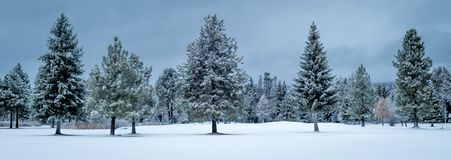 Vista panorâmica da sagacidade perfeita de muitas árvores de Natal do pinho em seguido fotografia de stock royalty free
