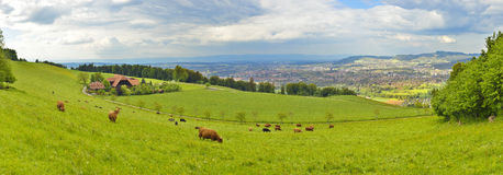 Vista panorâmica das vacas que comem a grama com a cidade de Berna no fundo Fotos de Stock Royalty Free