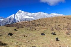 Vista panorâmica de Jade Dragon Snow Mountain em Yunnan, China com alguns iaques no primeiro plano Imagem de Stock