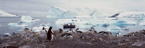 Vista panorâmica de pinguins de Gentoo com pintainhos (Pygoscelis papua), os turistas ecológicos no barco inflável do zodíaco com imagens de stock