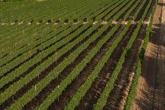 Vista panorâmica dos campos dos vinhedos imagem de stock royalty free