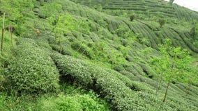 Vista panor?mica de campos do ch? em Taiwan Planta??es de ch? em Shizhuo, montanhas do montanh?s de Alishan filme