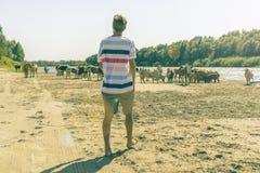Vista panoramica della passeggiata della mandria di mucche nel campo sabbioso di estate vicino alla spiaggia a del fiume fotografia stock libera da diritti
