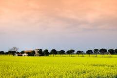 Vista panoramica delle piante della senape in Umbria, Italia Immagini Stock Libere da Diritti