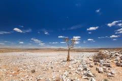 Vista panoramica di bello dichotoma dell'aloe dell'albero del fremito nel parco naturale del canyon del fiume del pesce in Namibi Fotografia Stock