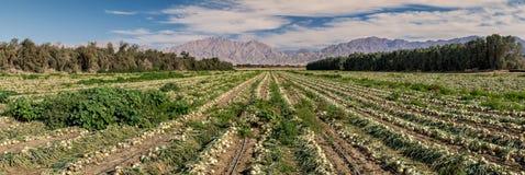 Vista panoramica sul campo con le cipolle di maturazione Immagine Stock Libera da Diritti