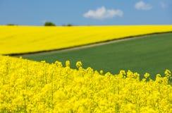 Vista para amarelar flores do raper e o campo verde Fotografia de Stock Royalty Free
