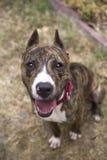 Vista para baixo em um cão rajado de sorriso Fotos de Stock