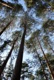 Vista più bassa delle cime dei pini snelli alti fotografie stock
