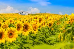 Vista piacevole della pianta gialla dei girasoli, con il cielo blu della nuvola Fotografia Stock