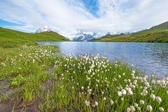 Vista piacevole dello sheuchzeri del eriophorum dei fiori vicino al lago Svizzero Fotografie Stock Libere da Diritti