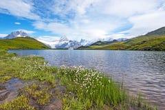 Vista piacevole dello sheuchzeri del eriophorum dei fiori vicino al lago Svizzero Immagine Stock