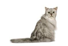 Vista posterior de la vieja sentada de plata del gato persa Fotos de archivo