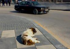 Vista posterior de un perro perdido marrón y blanco que miente solamente en el camino Fotos de archivo libres de regalías