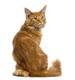 Vista posterior de una sentada del gatito de Maine Coon, mirando para arriba Imagen de archivo libre de regalías