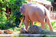 Vista posterior del elefante asiático masculino Imagenes de archivo