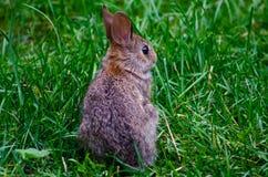 Vista posterior del pequeño conejo Fotos de archivo libres de regalías