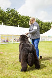 Vista posterior del perro lindo de Terranova en la demostración Fotografía de archivo