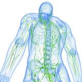 Vista trasera del sistema linfático transparente Foto de archivo libre de regalías