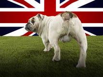 Vista posterior integral del dogo británico que camina hacia Union Jack fotos de archivo