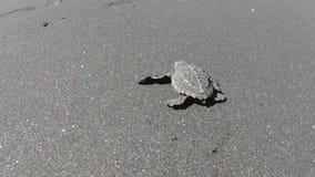 Vista posterior recién nacida valiente de la tortuga de mar del bebé que se arrastra al mar contra viento y marea con valor almacen de video