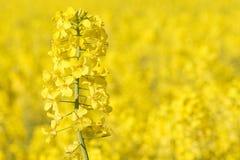 Vista próxima da couve-nabiça na flor fotografia de stock royalty free